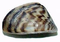 zebra_mussels